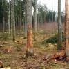 Aizsargāts: Cirsmā jāatstāj arī sausie koki