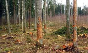 ☂ Cirsmā jāatstāj arī sausie koki