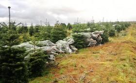 ☂ Skotijā cērt Ziemassvētku eglītes