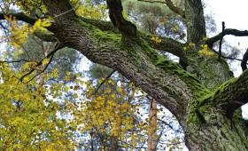 Simtozolu meži simtgadu Latvijai!