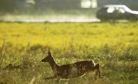 Kā rīkoties, ja notikusi sadursme ar meža dzīvnieku?