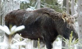 ☂ Meža īpašnieks var lūgt papildus aļņu nomedīšanas limitu