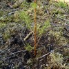 Pieejams atbalsts meža ieaudzēšanai, precizēti nosacījumi