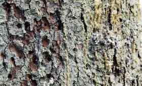 Eiropas kokiem Ķīnā identificētas 38 invazīvu kukaiņu sugas