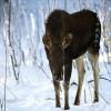 Mednieku un zemes īpašnieku vienprātība neizslēdz dzīvnieku postījumus
