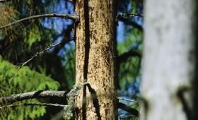 Astoņzobu mizgrauzis apdraud Latvijas mežus