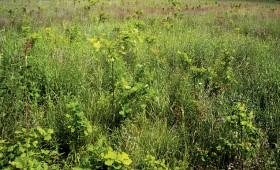 ☂ Platlapju audzēšanas un izmantošanas iespējas Latvijā