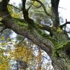 Bojā gājuša koka vietā būs jāiestāda jauns