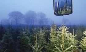 Skotijas Ziemassvētku eglītes jau ceļā!