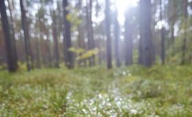 Ja vēlies savā mežā mellenes…