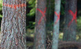 FSC samazina kontrolētās koksnes riskus Latvijai