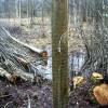 ☂ Kas jāņem vērā, plānojot koku ciršanu ārpus meža