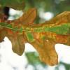 Aicina izvairīties no bīstamas augu slimības ievešanas Latvijā