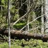 Bojā gājuša koka vietā būs pienākums iestādīt jaunu