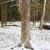☂ Veicot mežizstrādi, jāsaglabā sausie koki