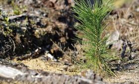 LVM palielina mežu atjaunošanu ar priedi