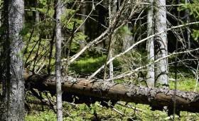 Rūpīgi kopto mežu kopskatu bojā stiprais pielūžņojums