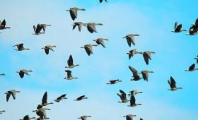 Sējumu pasargāšanā no migrējošajiem putniem medības nav efektīvs risinājums