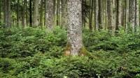 ☂ Bērzu mežos pielieto iepriekšējo atjaunošanu