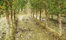 ☂ Papeļu audzēšana – efektīva un ekonomiski pamatota