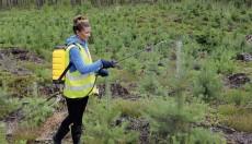 Iespēja pieteikties darbam valsts mežu mežsaimniecībā