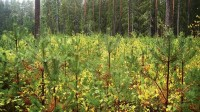 ☂ Priežu mežu atjauno sējot