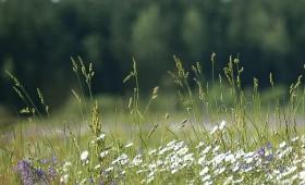 Rīgas parkos pļavu augu «saliņas»