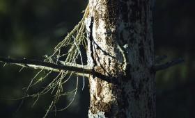 Mizgrauža bojātā koksne ietekmē meža nozari Eiropā