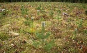 Atbalsts mežu ieaudzēšanai un iznīcinātu mežaudžu atjaunošanai