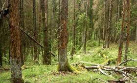 ☂ Mizgraužu bojātie koki var apdraudēt atpūtnieku drošību