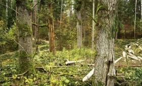 ☂ Kā apsaimniekot ozolu mežu